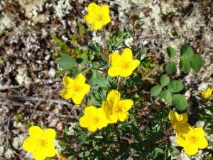 Arctic Flora - Potentilla