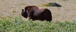 Muskox - Large Bull