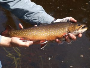 Spring Hole Brook Trout