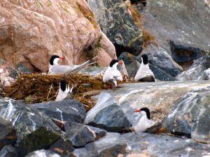 Tern Colony