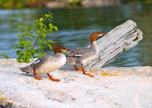 Merganser Ducks