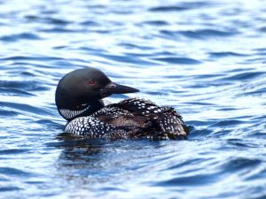 Dances with Loons