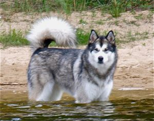 Malamutes at the Ponderosa